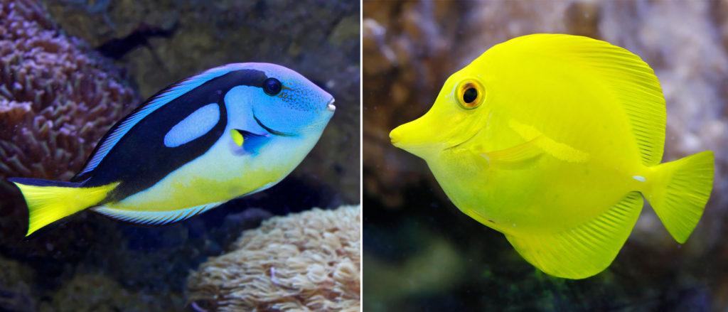 Palettendoktorfisch vs. Gelber Seebarder